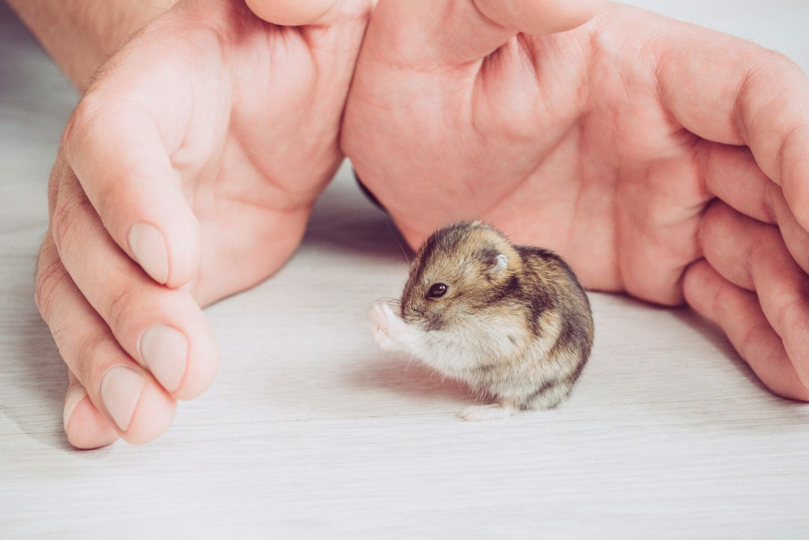 partial view of man hands near funny hamster washing on grey wooden background